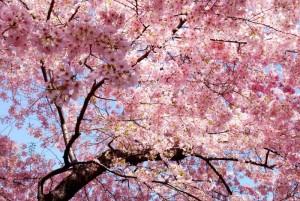 japon 03 primavera sakura